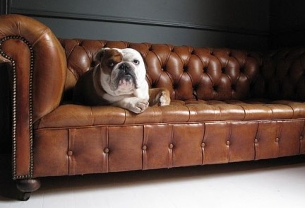 Bulldog on Chesterfield